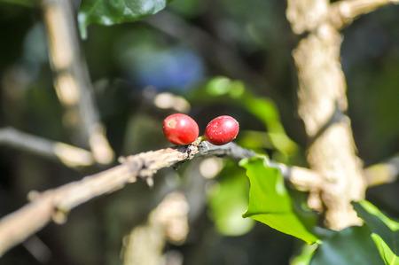 planta de cafe: granos de caf� en la ramificaci�n de la planta de caf�