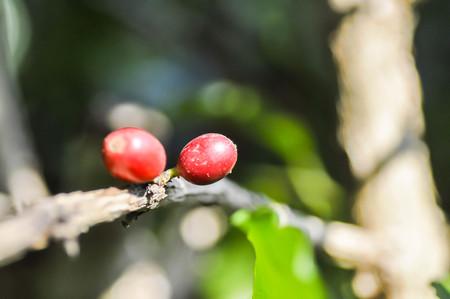 planta de cafe: granos de café en la ramificación de la planta de café