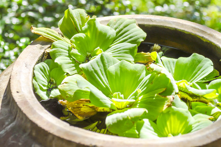 water hyacinth: Water Hyacinth plant in the jar Stock Photo