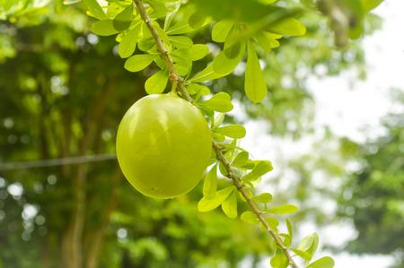 branch of Cerbera odollam Gaertn plant
