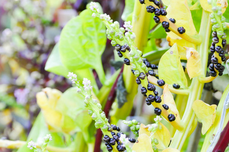 smallpox: Ceylon Spinach plant on the farm