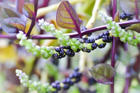 venganza: planta de Ceilán espinaca en la granja