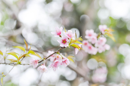 sour cherry: Wild Himalayan Cherry, Prunus cerasoides,Sour cherry, Cerasus cerasoides,Sakura ,Cherry Blossom or Wild Himalayan tree in the garden