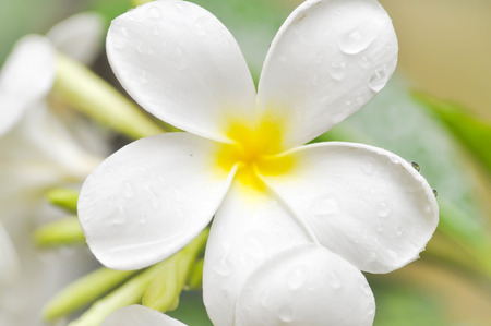 plumeria flower: plumeria flower or pagoda tree Stock Photo