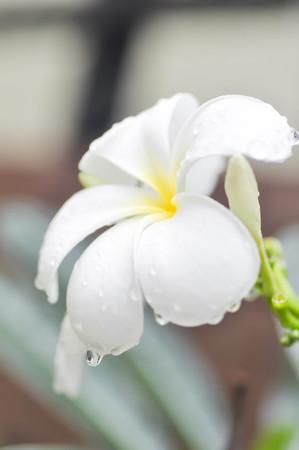 plumeria flower: dew drop on plumeria flower or pagoda tree in blur background