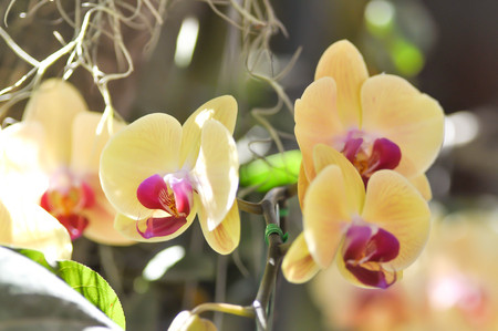yellow orchid: yellow orchid in the garden, orchid