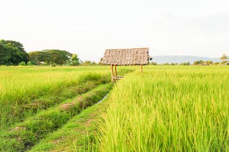 paddy field: rice field or paddy field Stock Photo