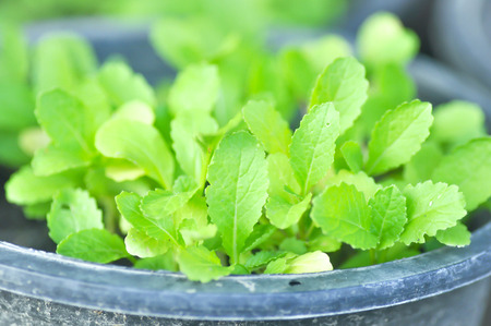 brassica: Brassica juncea plant,lettuce plant or Chinese mustard plant in the pot