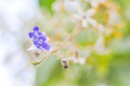 petrea: Petrea volubilis flower in the garden Stock Photo