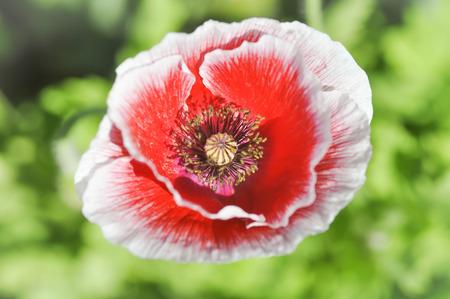 poppy flower: red poppy flower in the garden