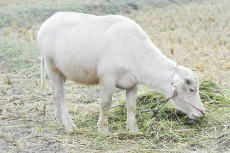 albino: albino buffalo or buffalo  in the field Stock Photo
