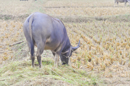 enchain: young buffalo in the rice field