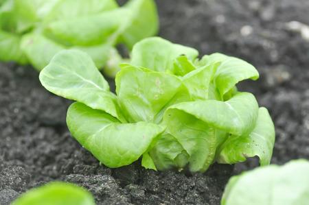 butterhead lettuce or lettuce in the vegetable garden