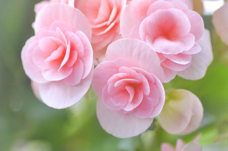 Begonia flower in the garden (blur background)