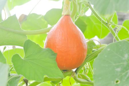 Butternut squash or  a pumpkin in vegetable garden