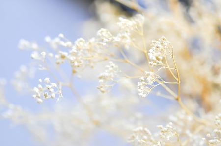 white gypsophila flower in blur background gypsophila