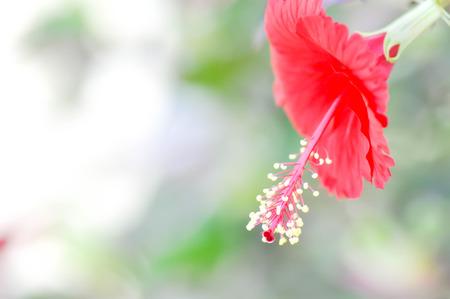 malvales: Hibiscus rosa-sinensis or red Hibiscus flower Stock Photo
