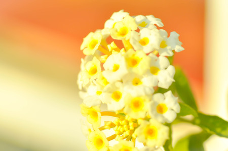 lamiales: hedge flower or cloth of gold flower (Lantana Camara)