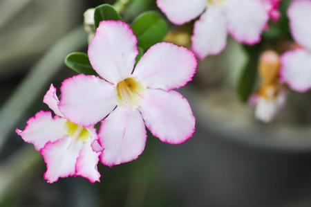 pink bignonia or desert rose ,pink flower