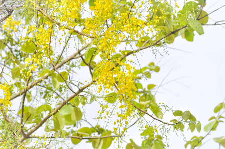 fabales: Golden shower or  Cassia fistula,yellow flower Stock Photo