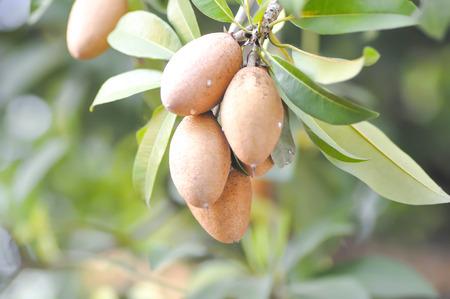 Manilkara zapota, Mimusops or Sapodilla tree