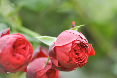 rosales: red roses in the garden Stock Photo
