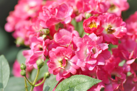 pink roses in the garden Stock Photo