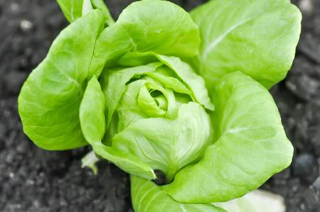 lactuca sativa: butterhead lettuce or lactuca sativa capitata in vegetable garden Stock Photo