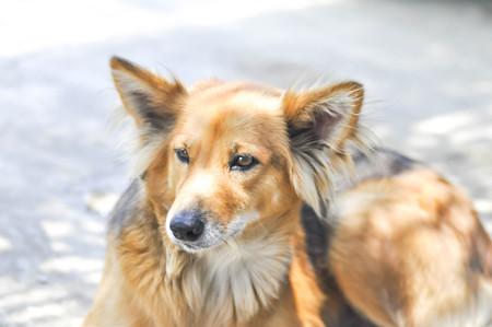stray dog,half breed dog or mongrel dog