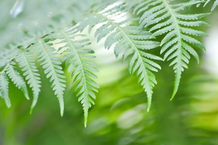 staghorn fern: fern ,Golden Moss or Chain Fern ( Cibotium barometz )
