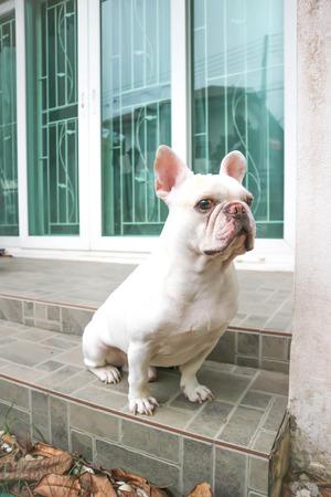 sitting French bulldog or unaware dog on the floor