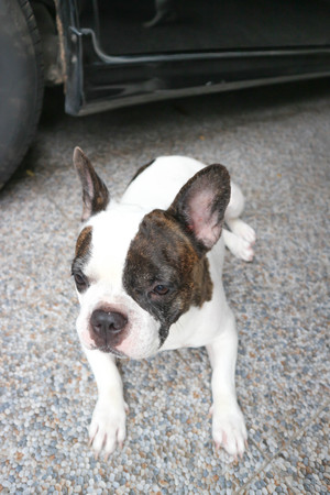 crouch  French bulldog or unaware dog on the floor