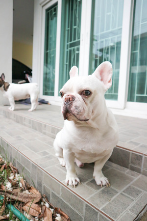 balcony: sitting French bulldog or unaware dog on the floor