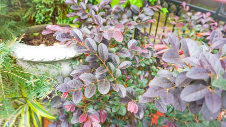 Loropetalum chinense,  Chinese Fringe Flower or Chinese Witch Hazel