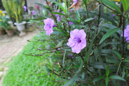 ruellias or wild petunias flower