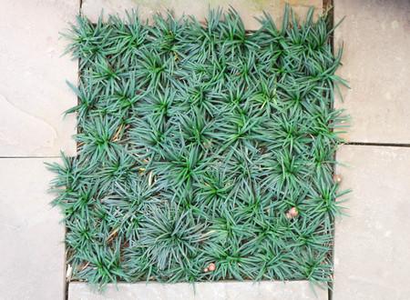 Mini Mondo Grass or Snakes Beard plant Stock fotó