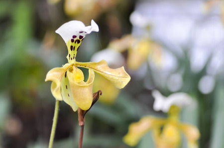 orchid or yellow flower or Ladys Slipper