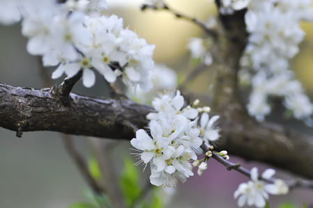 Chinese plum tree or peach tree or peach flower on the tree Stock Photo