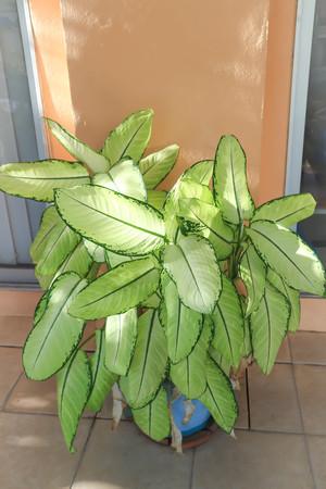 Dieffenbachia, Dumb  Cane or Dieffenbachia bowmannii plant