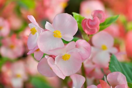 Begonia ,Begonia x semperflorens-cultorum or pink Begonia 스톡 콘텐츠