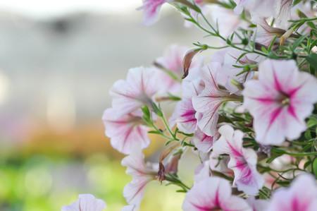 Petunia Hybrida or Petunia flower ,Petunia plant