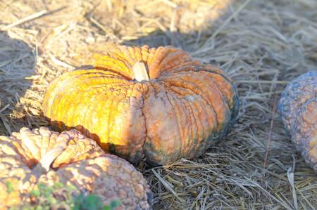 ripen pumpkin,pumpkin on the floor
