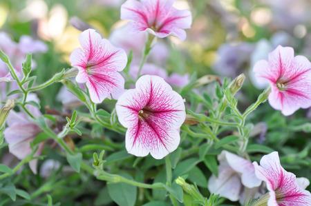 Petunia flower ,Petunia plant or pink petunia