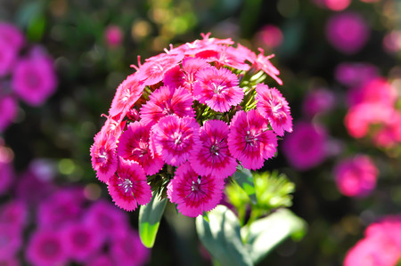 Sweet William Flower or Dianthus flower in the garden Imagens