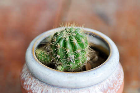 cactus in the flower pot, Echinopsis calochlora
