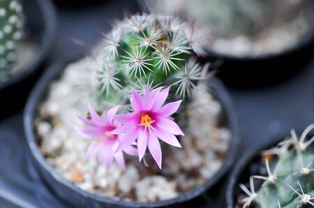 Mammillaria scrippsiana, cactus in the flower pot
