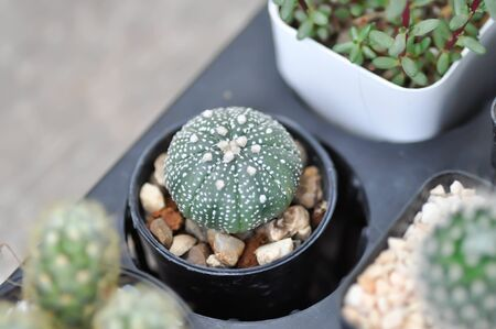 cactus in the flower pot or Astrophytum, Astrophythum asterias 写真素材