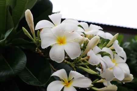Frangipani, Pagoda tree or Plumeria flower Foto de archivo - 129747961
