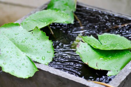 rain drop , rain drop on lotus leaf Stock Photo