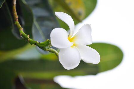 frangipani flower or pagoda tree